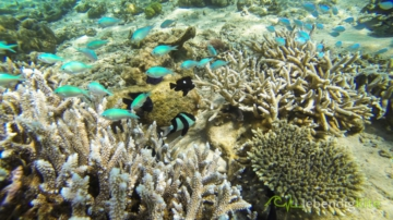 colorful corals and fish at the reef snorkeling in Australia