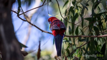 a colorful Parrot in a eucalyptus tree