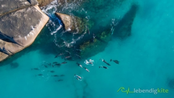 Dronen Quadrocopter aerial photography dolphins in Australia Esperance with DJI Mavic Pro