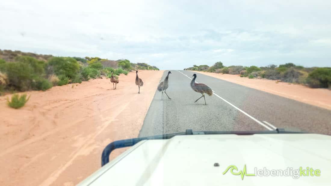 Emu Australia Exmouth
