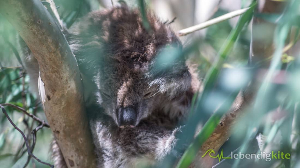 Koala bear Australia Perth