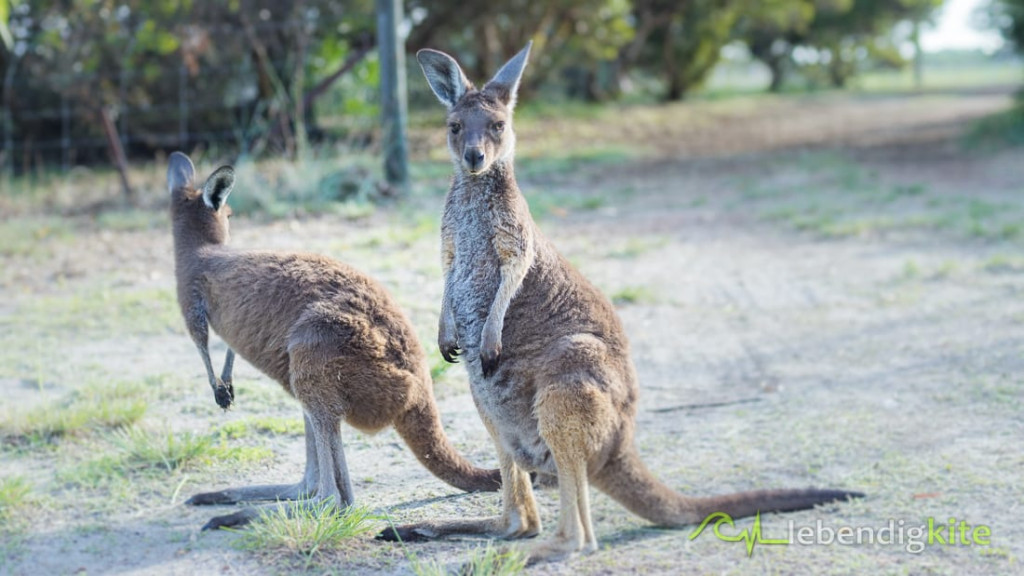 Kangaroo Australia Nature animals
