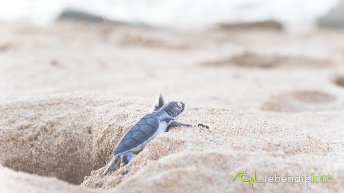 Schildkröten schlüpfen Exmouth Ningaloo