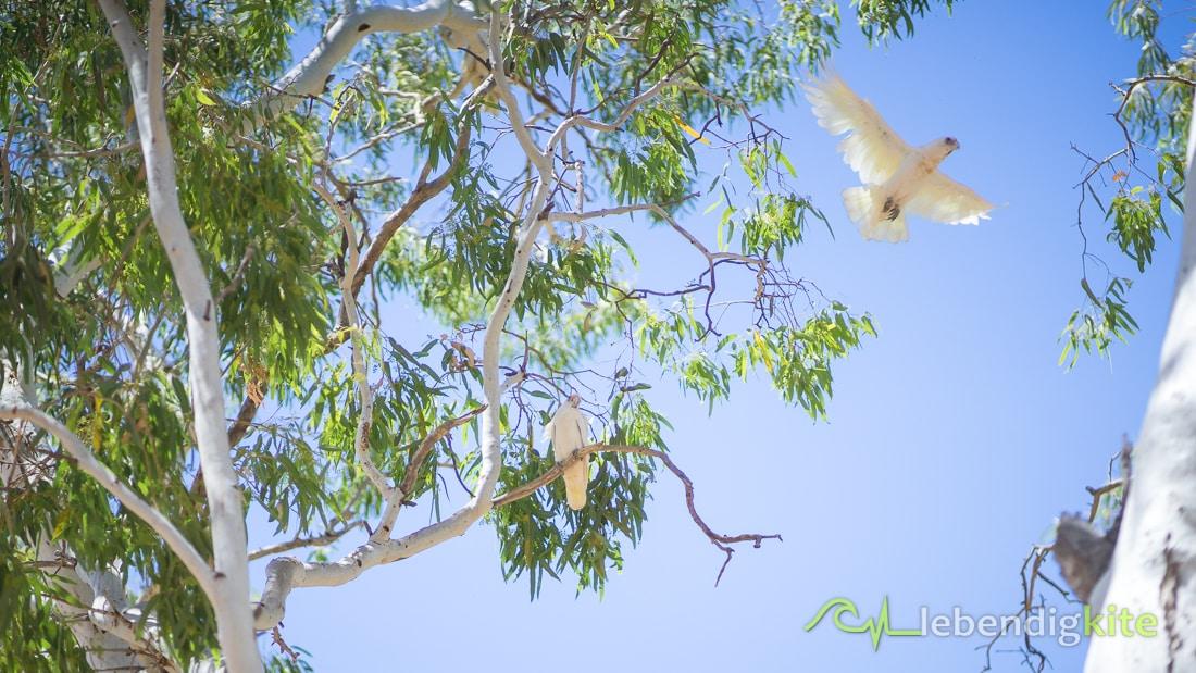 Kakadu Natur Tierwelt Australien